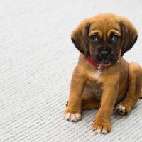 5 dicas para ensinar seu cachorro a fazer xixi no lugar certo