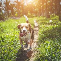 As raças de cães mais populares do Brasil