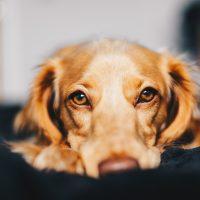 Entenda o segredo do olhar canino