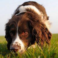 Curiosidade: a que distância um cão consegue ouvir e cheirar?