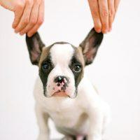 Cachorros amam carinho na orelha. Sabe o motivo?