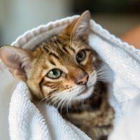 Já deu banho no seu gato?