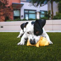 Por que brincar é tão importante para os cachorros?