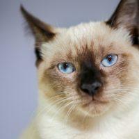 Cientista explica por que os gatos 'amassam pãozinho'
